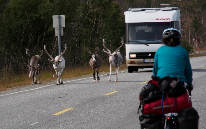 Honey, watch out! There's a herd of reindeer on the road.