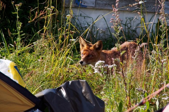A fox checking out what can be had at our camp.