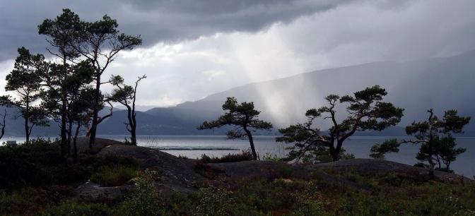 Pine trees above Hardanger Fjord.