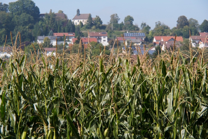 Corn. Never have we seen so much corn. Germany is covered with it.