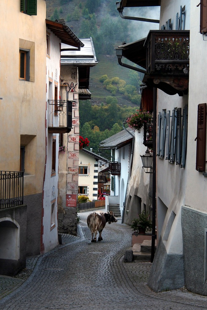 Going home. A lone cow in the streets of Santa Maria.