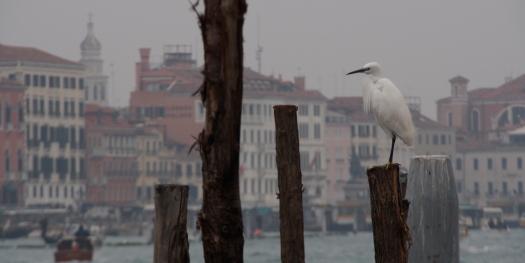 Egret in Venice.