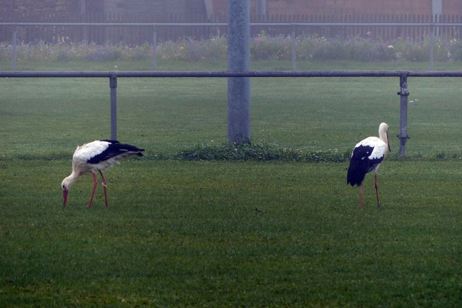 Storks on the sports field in Mengen.