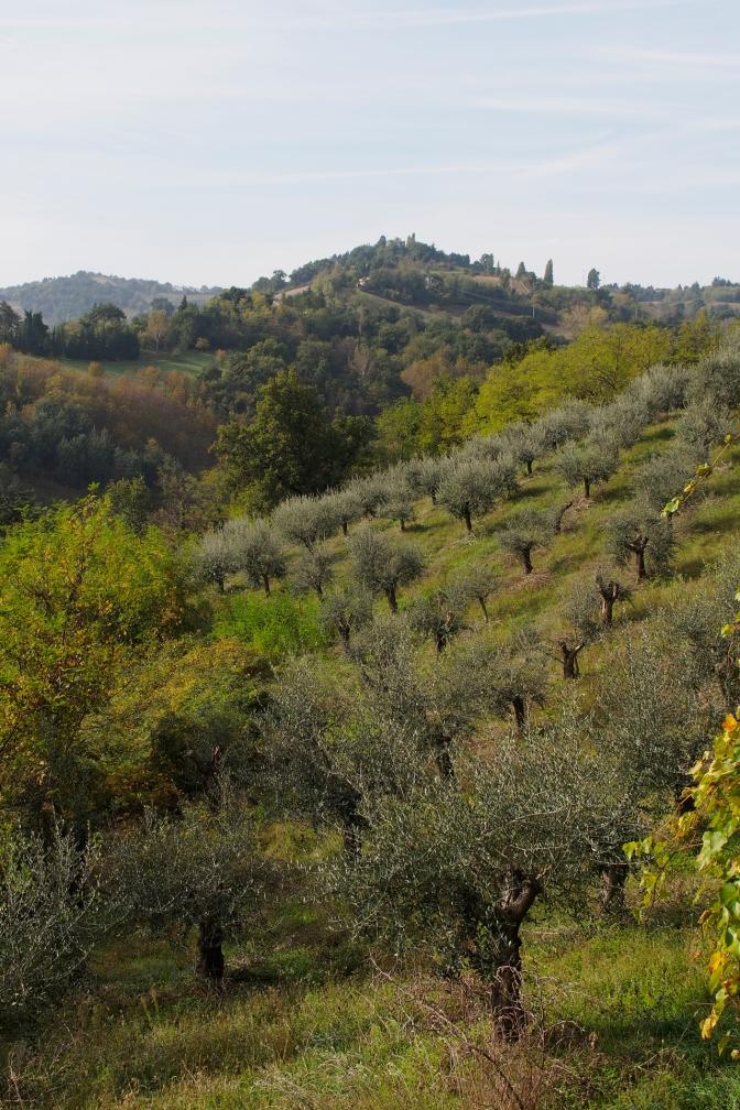 Olive grove.