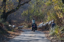 Sheep crossing the road in a chestnut forest on the road to Shkodra.
