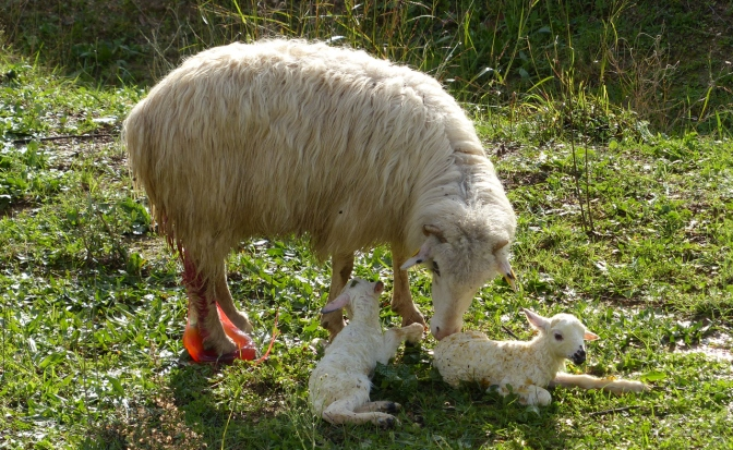 Newly born lambs.