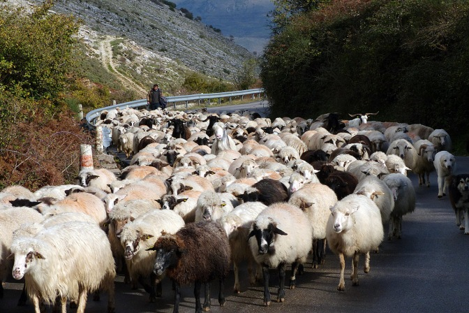 A herd of sheep on the road.