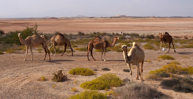 Camels along to road to Asilah.