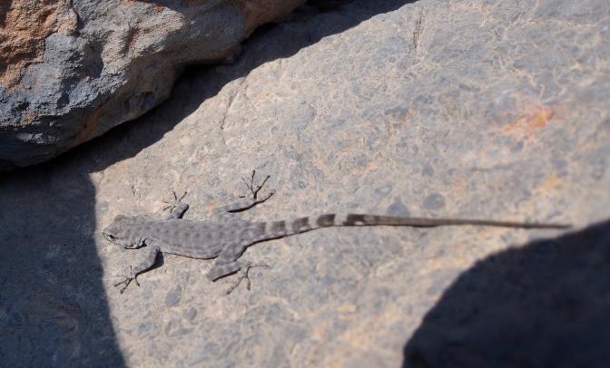 A small lizard.