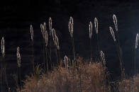 Winter reeds.
