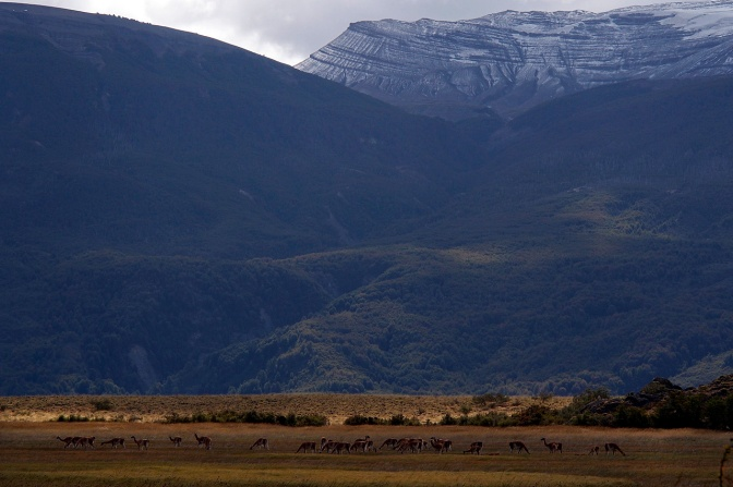 Large herd of guanaco in Valle de Chacabuco.