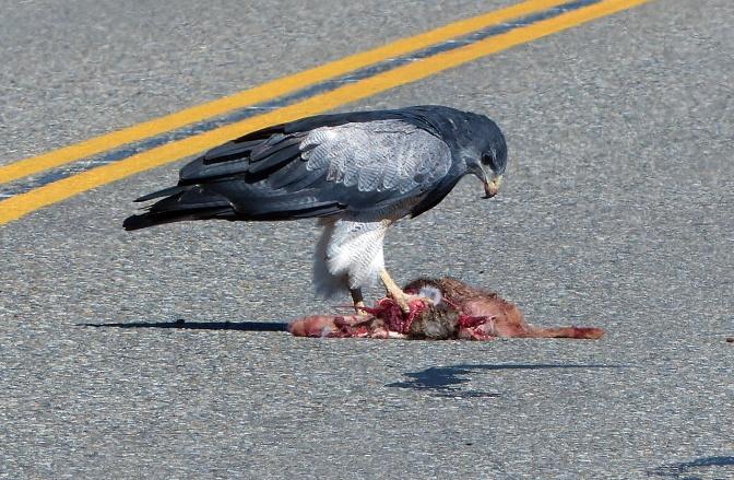 Jan got this raptor feeding on roadkill.