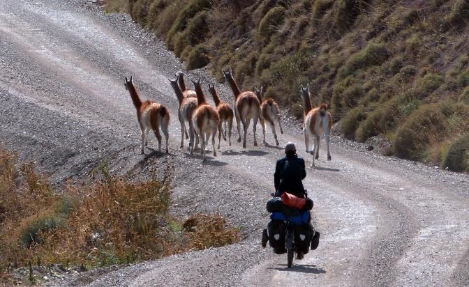 Paul herding guanacos.