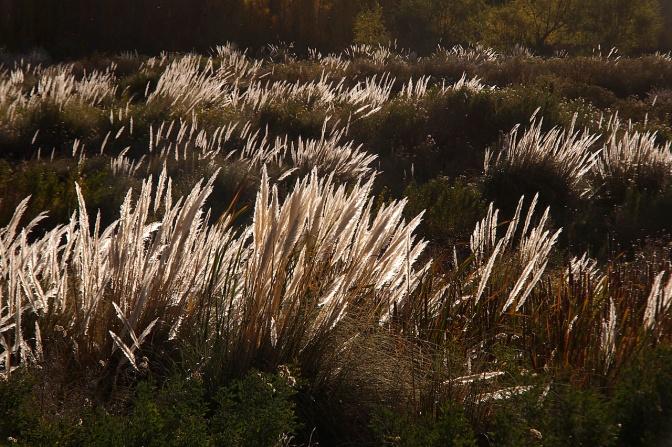 Reeds in a bog in Uspallata.