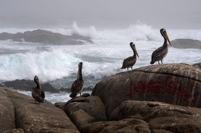 Pelicans and the surf at Maitencillo.