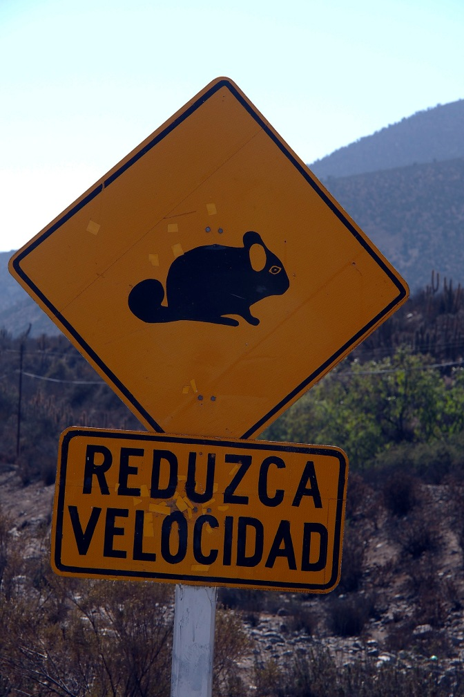 Chinchilla crossing ahead.