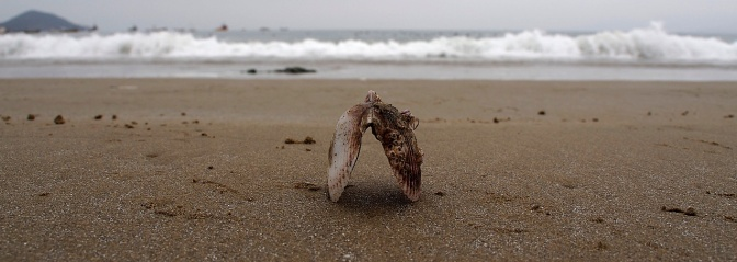 Scallop shell on Guanaqueros beach.
