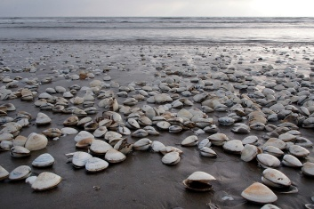 And even more clam shells.