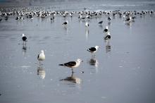 Gulls on La Serena beach.