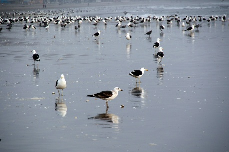 Gulls on La Serena beach.