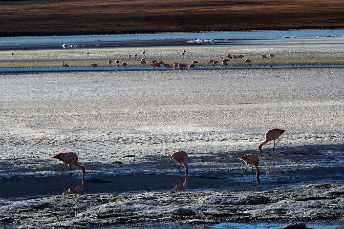 Flamingos at Laguna Hedionda.