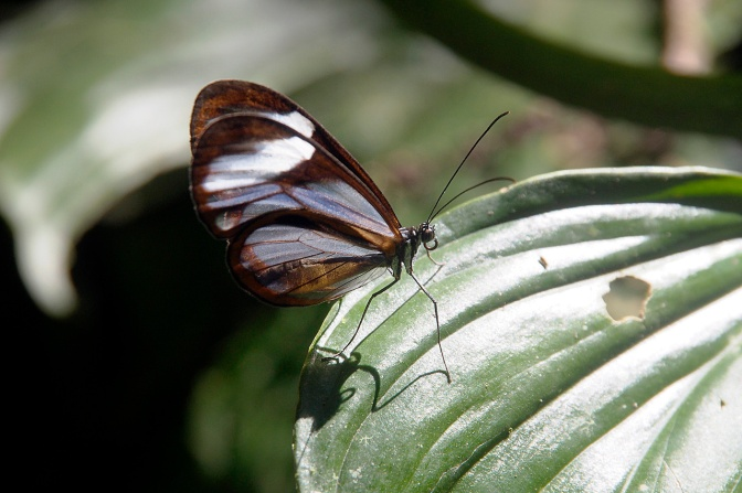 A butterfly with translucent wings.
