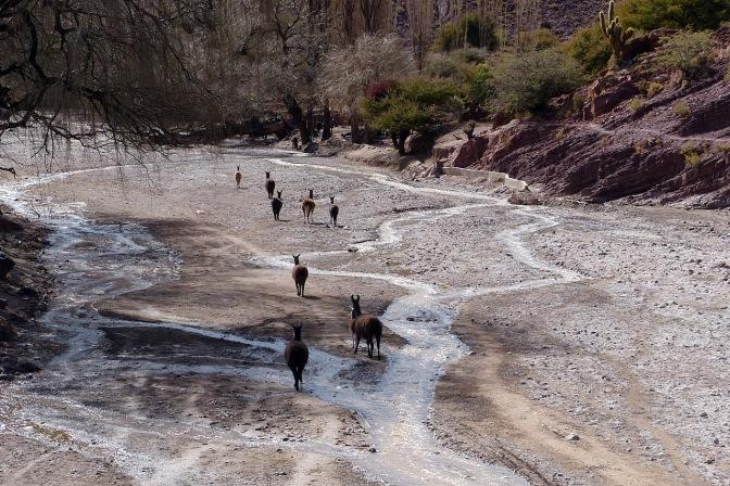 Llamas in the river running through Pelca.