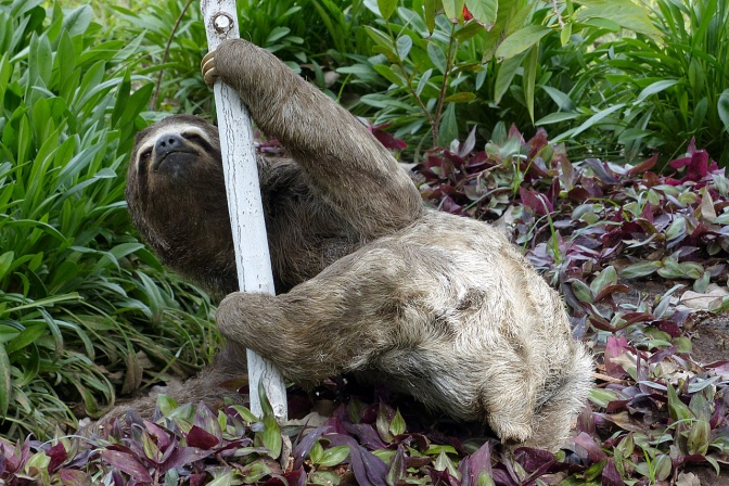 Evolutionary oddity: a sloth crawling around ever so slowly in a park in Montero where we stopped to have lunch on our way to Buena Vista.