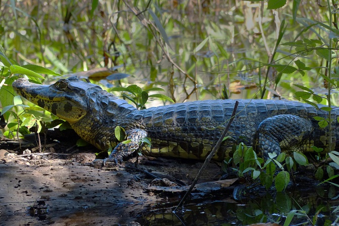 Alligator in Amboro National Park.