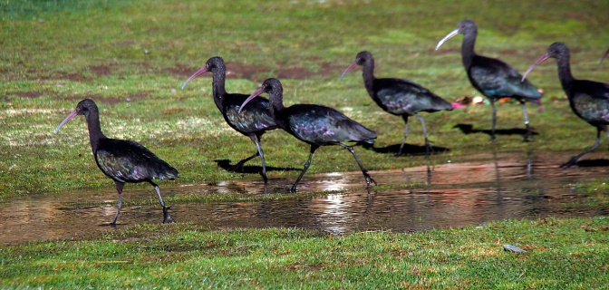 Green Ibis foraging near our camp in Sicuani.