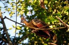 A stinky chicken or hoatzin (Opisthocomus hoazin).