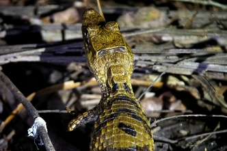 A young black caiman, about 30 cm long.