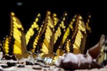 Swallowtail butterflies taking in minerals on a beach.
