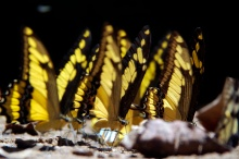 Swallowtail butterflies taking in minerals on a beach.