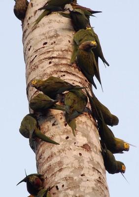 Macaws feeding on a palm tree snag.
