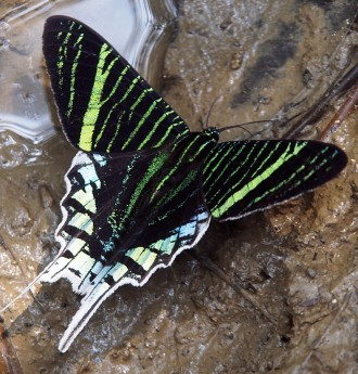 Electric green butterfly.