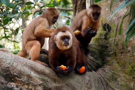 Brown capuchin monkeys.