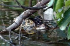 A large black caiman hiding under some overhanging brush.