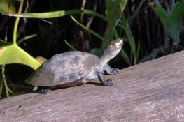 Turtle on log.