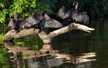 Cormorants drying their feathers.