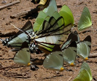 Butterflies taking on minerals on a beach