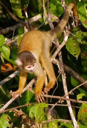 Squirrel monkey.