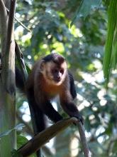 Brown capuchin monkey.