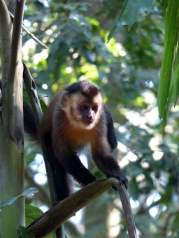 Brown capuchin monkey.