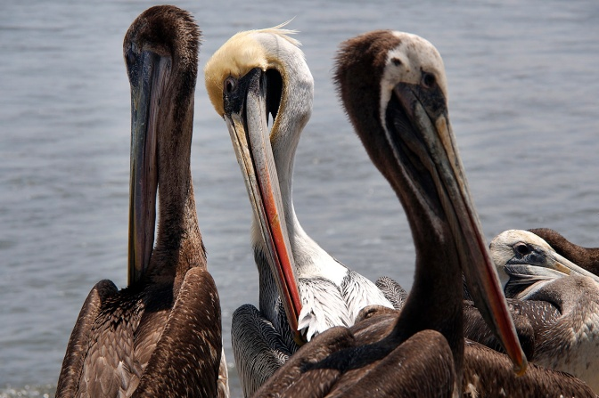 Pelicans preening on Huanchaco beach.