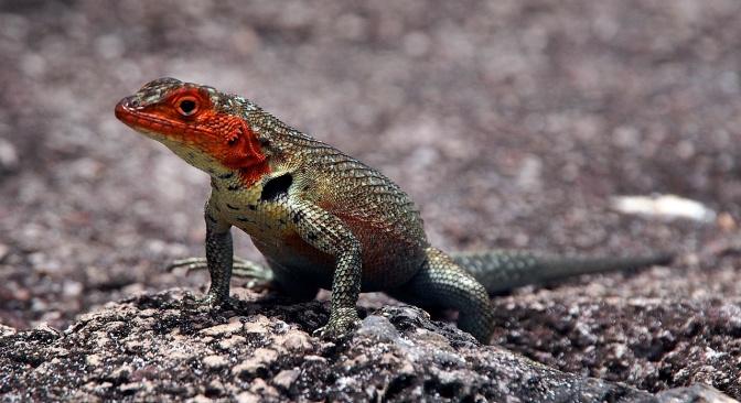 Female lava lizard.