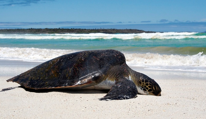 A green sea turtle on Tortuga Bay beach.