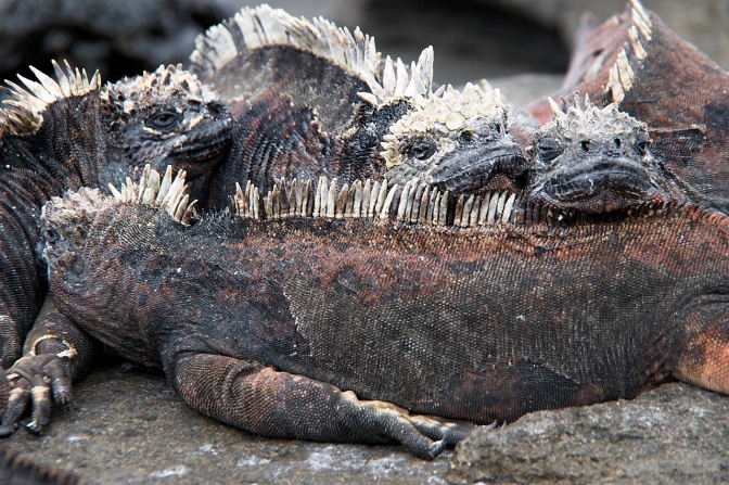 Marine iguanas like to cuddle for warmth.