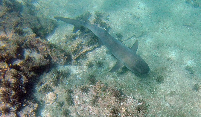 Grey reef shark.