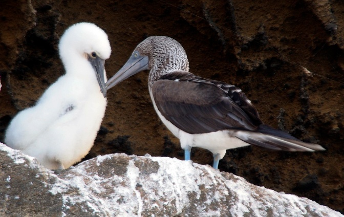 Blue footed booby and chick.